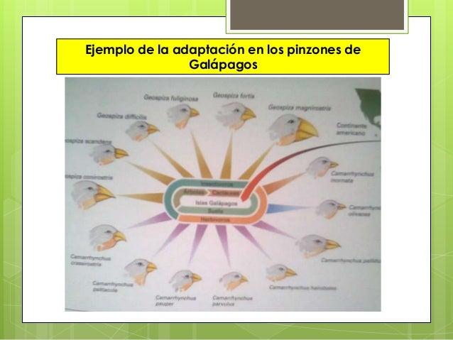 Ejemplo de la adaptación en los pinzones deGalápagos