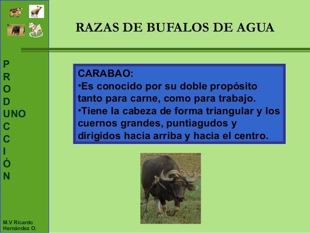 Unidad 3 generalidades del bufalos y sus razas