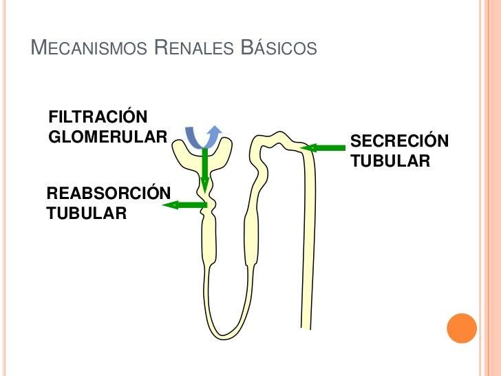 Unidad 5 sistema urinario filtrado secrecion y reabsorcion Slide 2