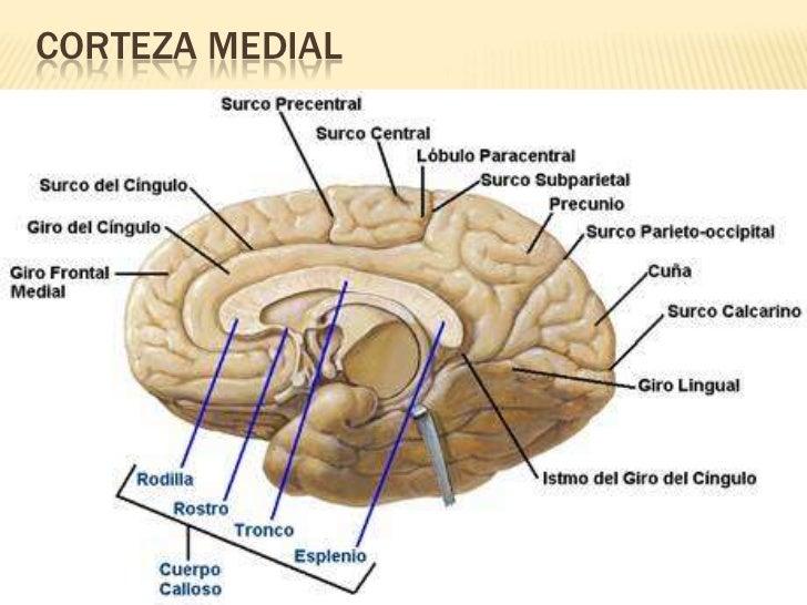 Unidad III y IV anatomia cerebral