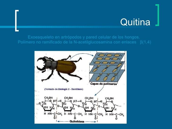 Quitina Exoesqueleto en artrópodos y pared celular de los hongos.  Polímero no ramificado de la N-acetilglucosamina con en...