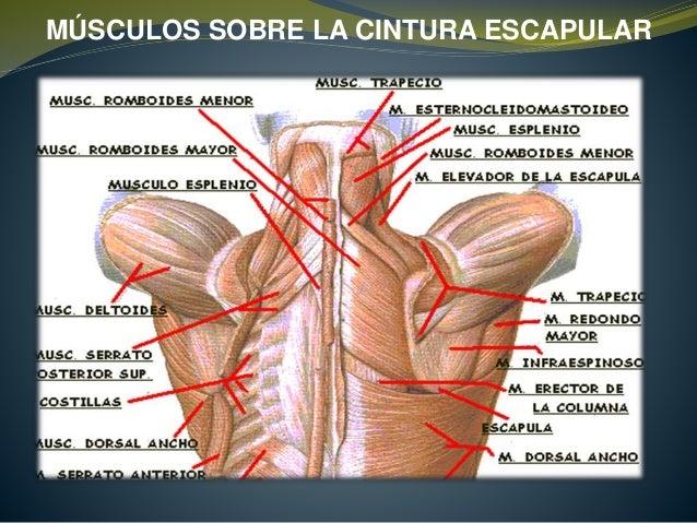 Músculos de cintura juntados - Dolor lumbar bajo o dolor de cintura ...