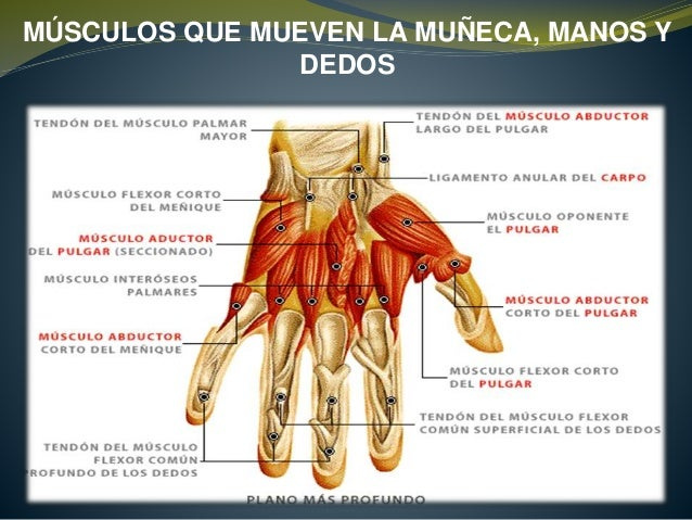 Los músculos en las manos la estructura de la foto - Musculos de la ...