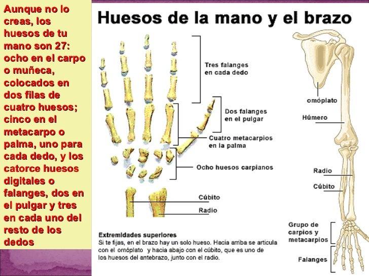 Dorable Huesos De La Muñeca La Mano Y La Anatomía Festooning ...