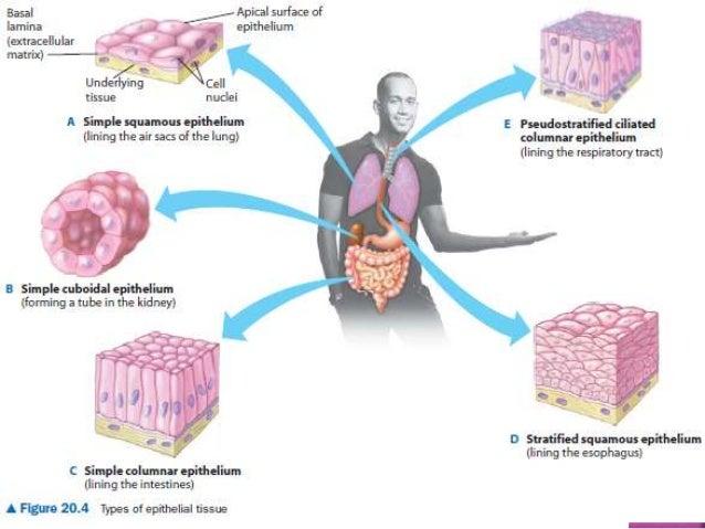 adipose tissue slide
