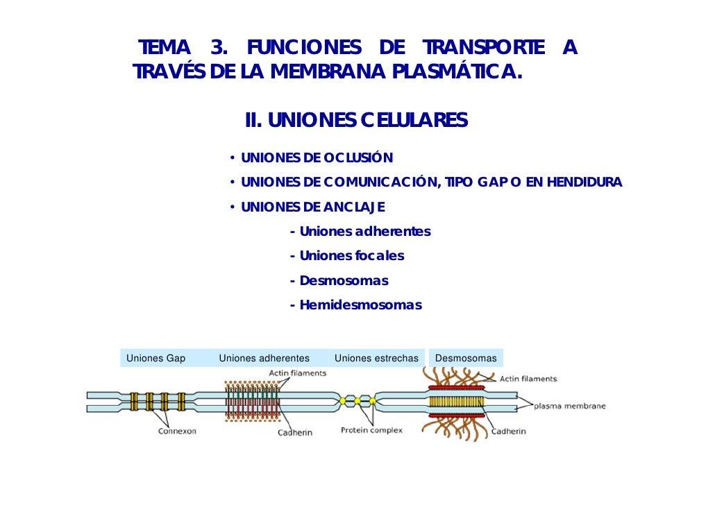 TEMA 3. FUNCIONES DE TRANSPORTE A TRAVÉS DE LA MEMBRANA PLASMÁTICA.                   II. UNIONES CELULARES               ...