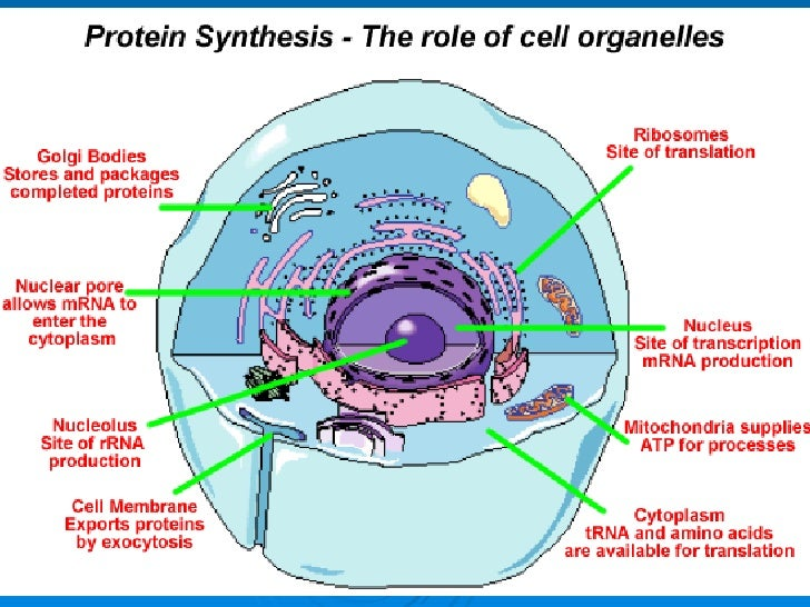 the sites of protien synthesis