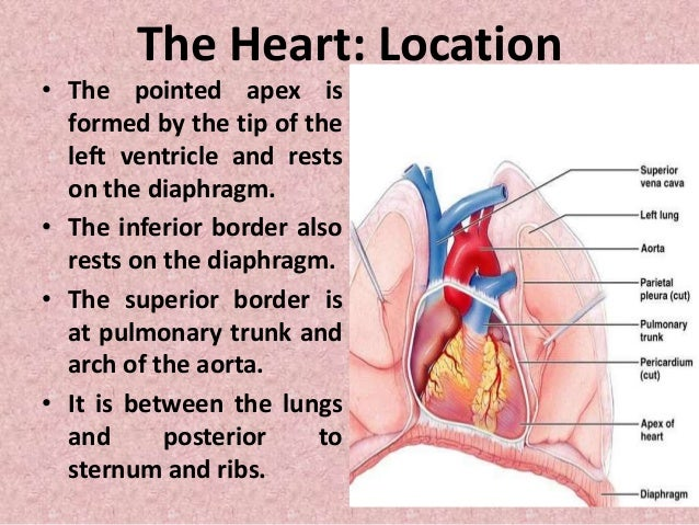 structure of heart and its function pdf
