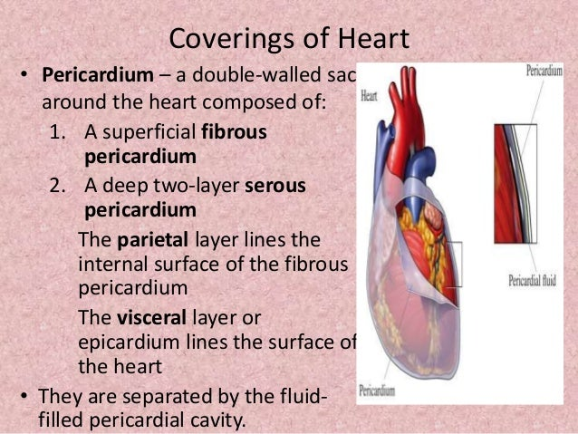 Johnys ap structure and function of heart 5 coverings of heart ccuart Gallery