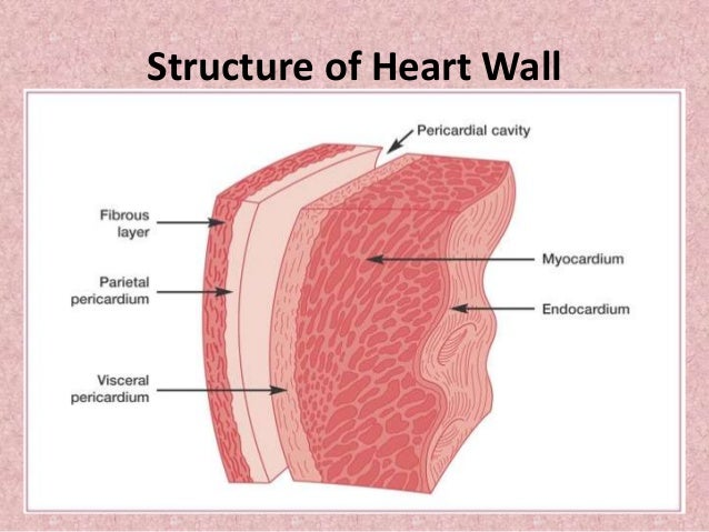 Johnys ap structure and function of heart 8 ccuart Image collections