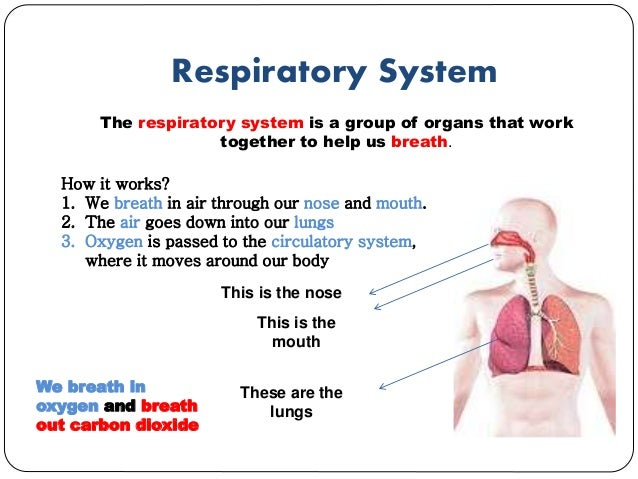 essay about how does the human respiratory system work Body systems- circulatory, digestive, respiratory, excretory, nervous, and endocrine- work together in order to maintain homeostasis in our body.