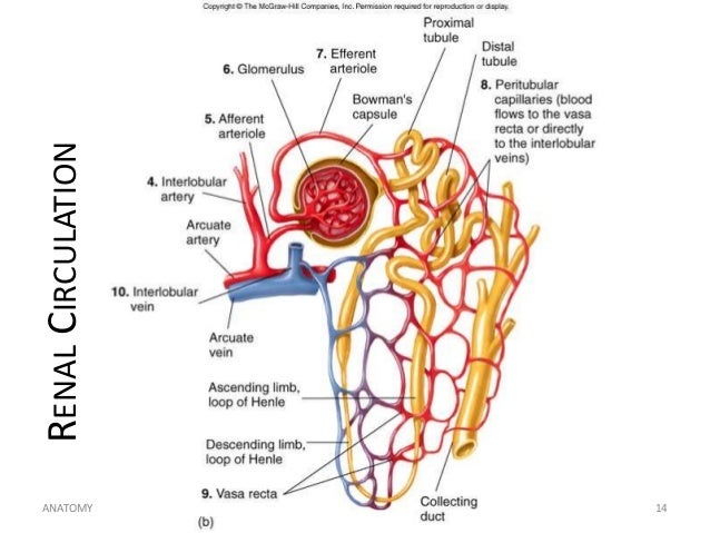 unit 13 genitourinary system  renal circulation anatomy h noveno hotmail 14 14
