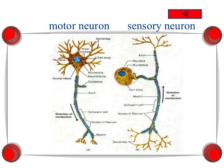 Motor neuron diagram gcse circuit connection diagram motor neuron diagram gcse images gallery unit 13 nervous system ccuart Image collections