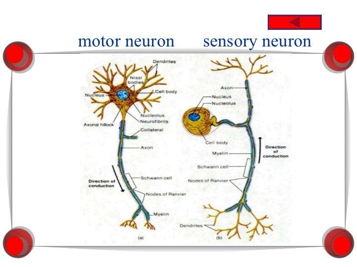 Neuron diagram test pin circuit connection diagram unit 13 nervous system rh slideshare net basic neuron diagram blank neuron diagram ccuart Image collections