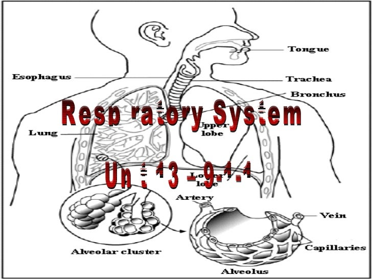 Respiratory System Unit 13 – 9-1-1