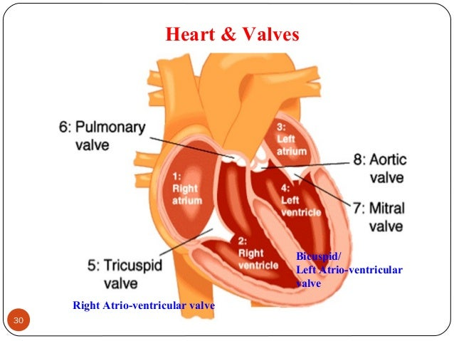 Heart & Valves 30 DEEPAK.P Right Atrio-ventricular valve Bicuspid/ Left Atrio-ventricular valve