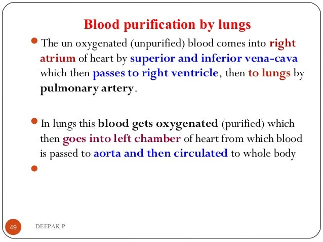 Blood purification by lungs The un oxygenated (unpurified) blood comes into right atrium of heart by superior and inferio...