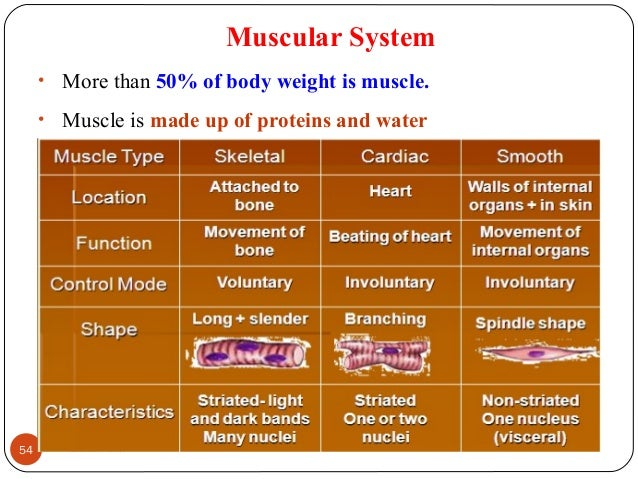Muscular System • More than 50% of body weight is muscle. • Muscle is made up of proteins and water 54 DEEPAK.P