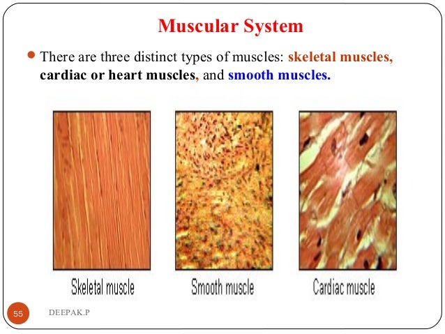 Muscular System There are three distinct types of muscles: skeletal muscles, cardiac or heart muscles, and smooth muscles...