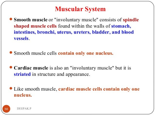 """Muscular System Smooth muscle or """"involuntary muscle"""" consists of spindle shaped muscle cells found within the walls of s..."""