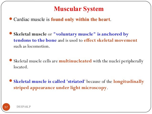 """Muscular System Cardiac muscle is found only within the heart. Skeletal muscle or """"voluntary muscle"""" is anchored by tend..."""