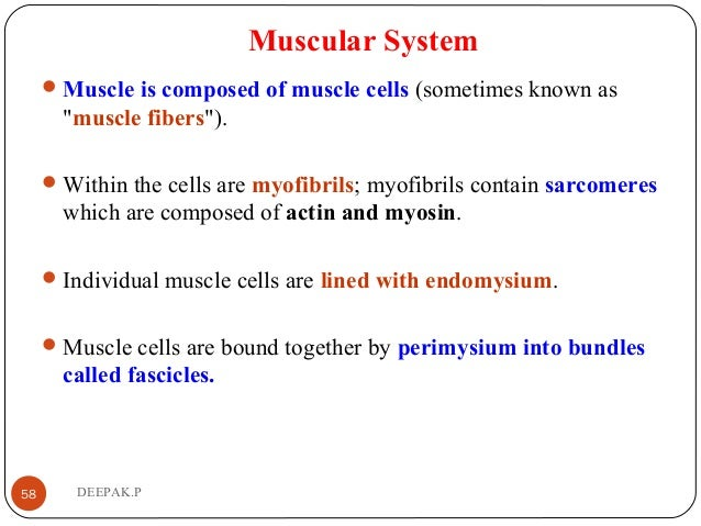 """Muscular System Muscle is composed of muscle cells (sometimes known as """"muscle fibers""""). Within the cells are myofibrils..."""
