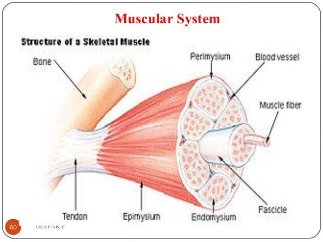 Muscular System 60 DEEPAK.P