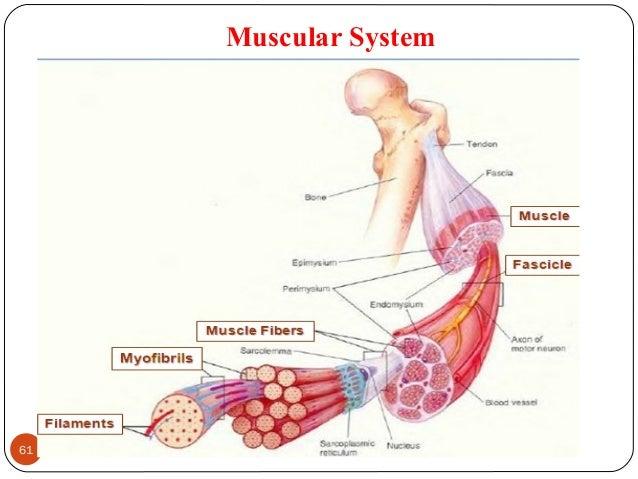 Muscular System 61 DEEPAK.P