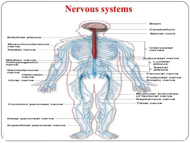 Nervous systems 67 DEEPAK.P