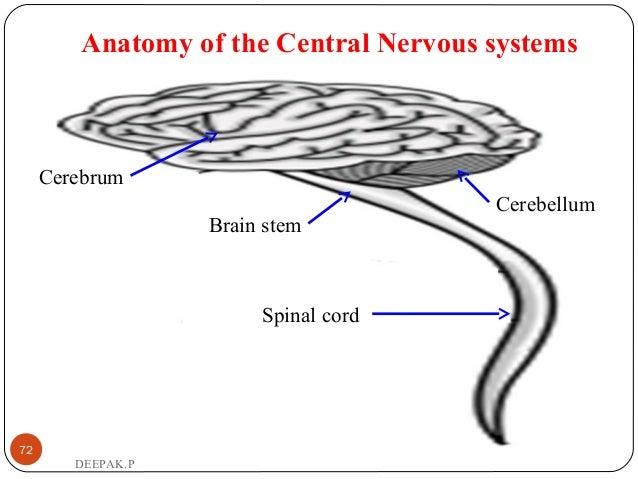 Anatomy of the Central Nervous systems 72 DEEPAK.P Spinal cord Cerebellum Brain stem Cerebrum