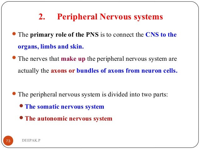 2. Peripheral Nervous systems The primary role of the PNS is to connect the CNS to the organs, limbs and skin. The nerve...