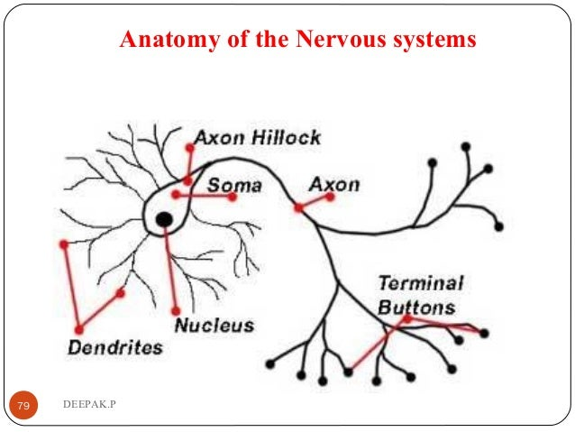 Anatomy of the Nervous systems 79 DEEPAK.P