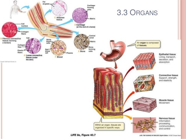 organisation of the human body Human body the nervous system parts of the central nervous system (cns)  nervous system organization why learn about the organization of the nervous system.