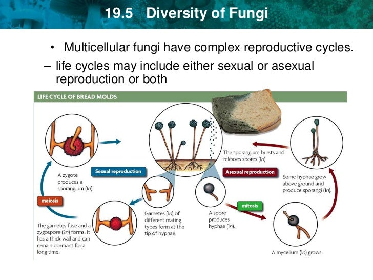 """<br />; 35. Many plantlike protists can reproduce both sexually and  asexually.""""/></a><br />5 protist reproduction can be sexual or asexual …. Protist reproduction asexual sexual (a) (b) …. Contents. characteristics · sexual reproduction · asexual reproduction …. 5 protist reproduction asexual …. Meiosis process. 4 sexual reproduction in unicellular protists –unicellular- mitosishaploid  cell divides by mitosis, produces gametes gametes fuse, forms diploid  zygote …. Sexual reproduction in ciliate protists. asexual reproduction …. The cellular slime mold asexual life cycle begins when 1n spores germinate,  giving rise to. Protist. . Difference between protists and fungi. Protists can reproduce asexually or sexually, or by the sexual processes of  meiosis and syngamy. 3 protist reproduction asexual and sexual reproduction asexually  spores  sexually  unicellular or multicellular. Kingdom protista part i. . 7 algal protists use flagella for movement three main types: euglenoids,  pyrophytes, rhodophytes all algal protists are aquatic uses sexual, not  asexual …. . . How do protists reproduce?. . [image, biodidac, chry001b.gif chrysophyta vaucheria sexual and asexual  reproduction in the. Protists reproduce asexually and sexually by, the process involving cell  fusion and zygote formation. it may be photosynthetic or holotrophic.. … which is some are motile, unique characteristics reproduction asexual, sexual and syngamy, protozoa unique characteristics eukaryotic, kingdom  protista ?. Art connection. Protista crossword. Asexual; sexual – with protists in every category of sexual reproduction. Difference between monera and protista. 10 kingdom protista ▻ protists reproduce both sexually and asexually  most  protist go through fission—a type of asexual reproduction—to reproduce ▻ in  …. . . . Question 4 which of the following statements is false concerning protists?  a protists tend to. . … reproduction asexual, unique characteristic found in aquatic habitat,  protozoa """