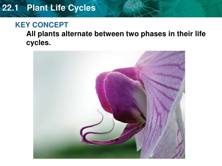 KEY CONCEPTAll plants alternate between two phases in their life cycles.<br />
