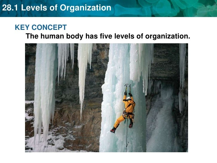 KEY CONCEPT The human body has five levels of organization.<br />