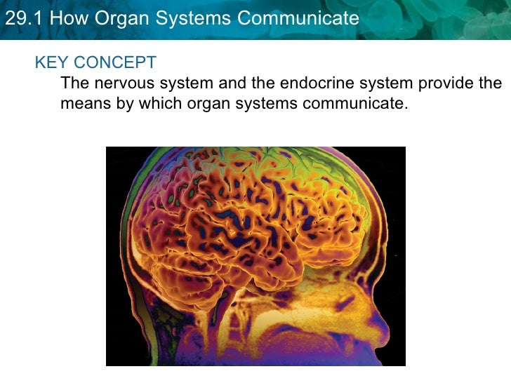 KEY CONCEPT  The nervous system and the endocrine system provide the means by which organ systems communicate.