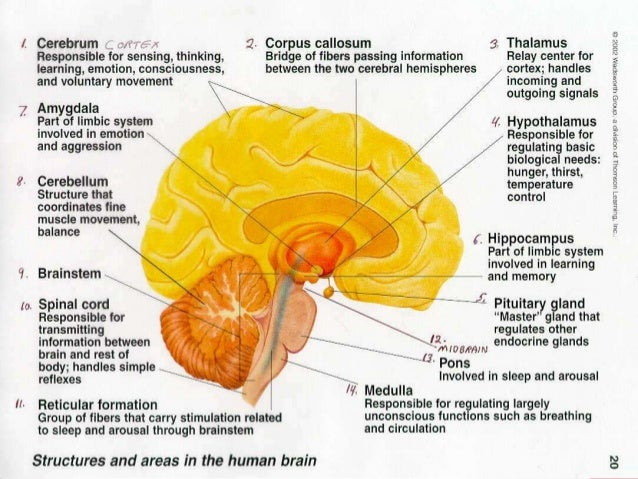 Unit 2 biopsychology powerpoint brain parts and functions 22 ccuart Gallery