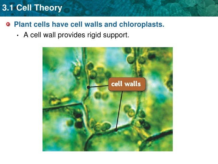 Plant cells have cell walls and chloroplasts.<br />A cell wall provides rigid support.<br />