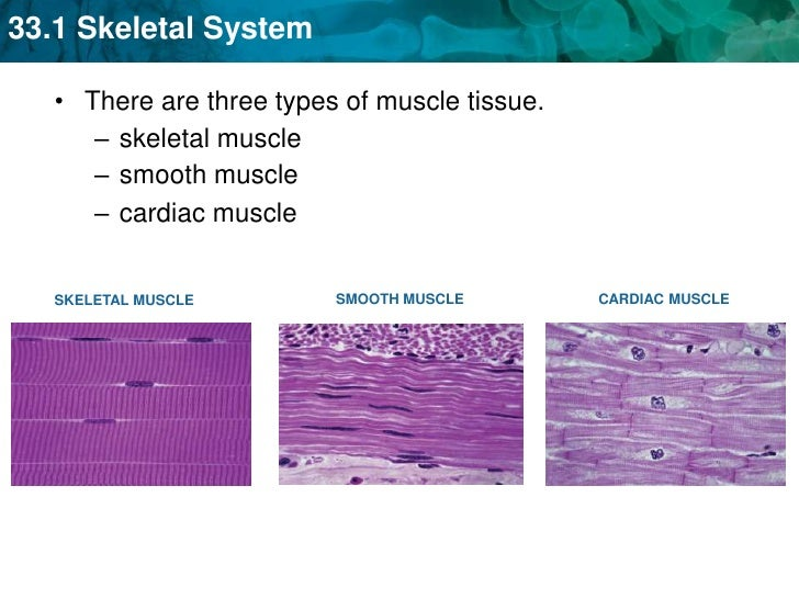 three types of muscle tissue There are three types of muscle tissue found in the human body there are visceral muscles, which consist of smooth muscle tissue, which is controlled by the autonomic nervous system and responds to both hormones and neural stimulation.
