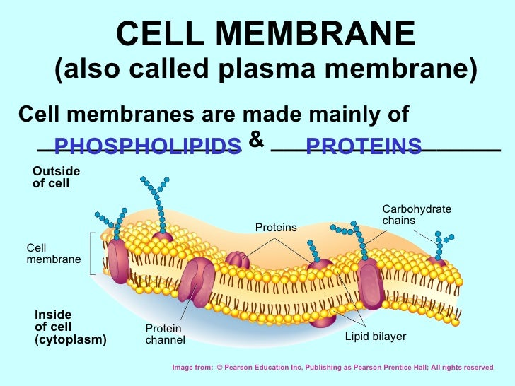 CELL MEMBRANE (also called plasma membrane) <ul><li>Cell membranes are made mainly of ________________ & _________________...