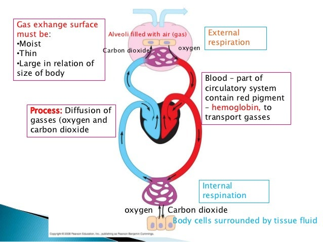 3 Respiratory System And Gas Exchange