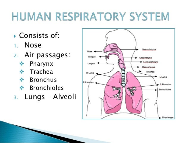 Unit 3 respiratory system and gas exchange lungs alveoli 5 ccuart Choice Image