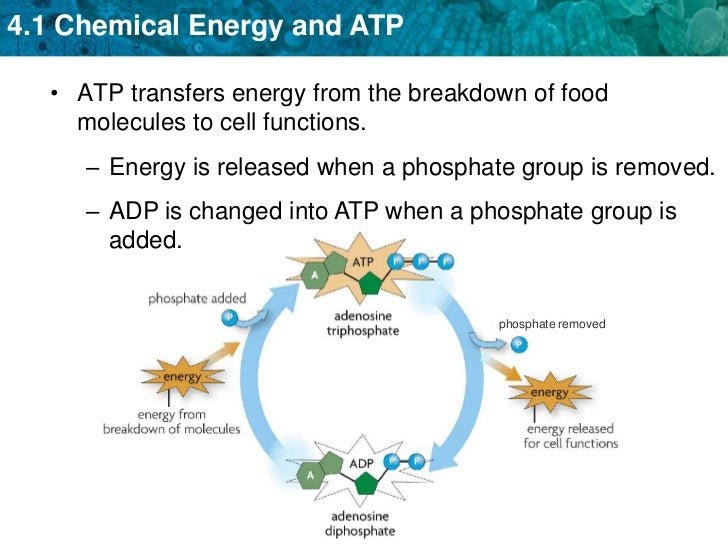 Unit 4 Chemical Energy And Atp
