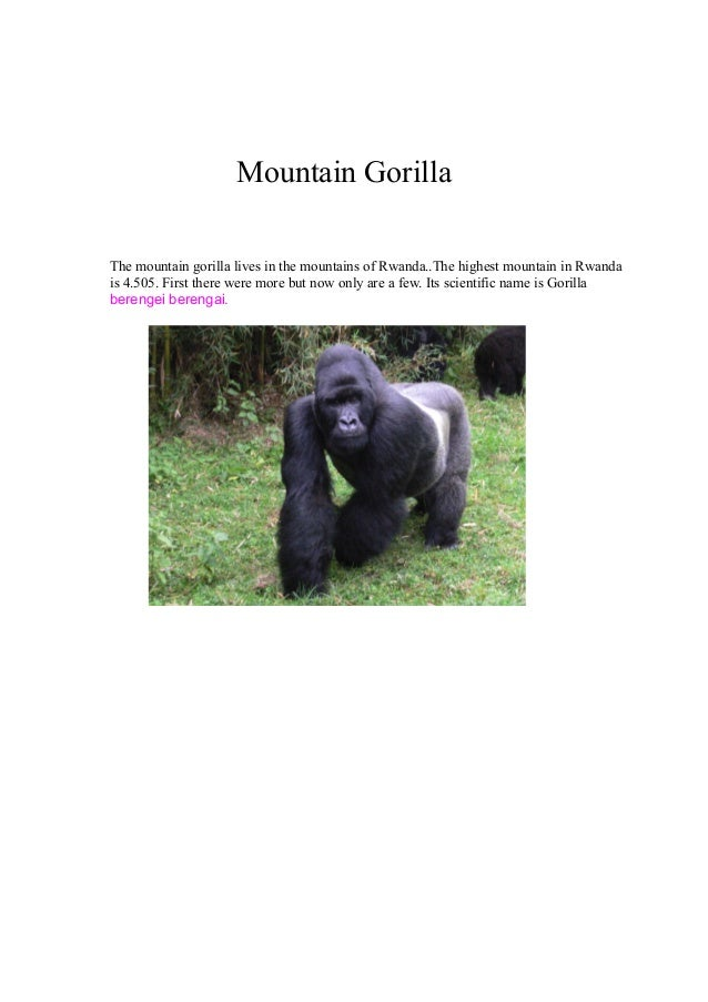 Mountain Gorilla The mountain gorilla lives in the mountains of Rwanda..The highest mountain in Rwanda is 4.505. First the...