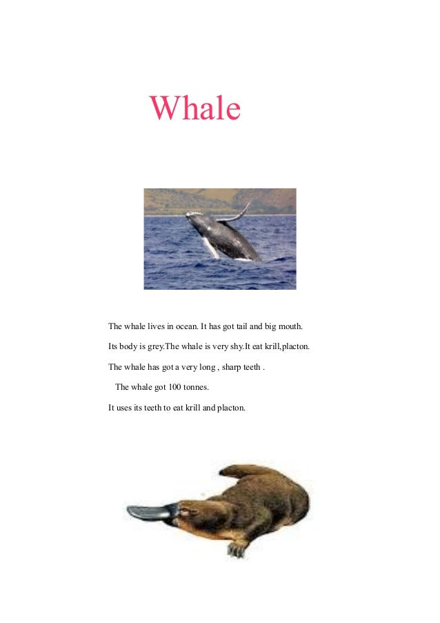 Whale  The whale lives in ocean. It has got tail and big mouth. Its body is grey.The whale is very shy.It eat krill,placto...