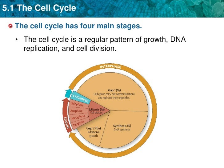 an overview of the stages of the cell cycle This sequence of activities exhibited by cells is called the cell cycle cell growth and protein production stop at this stage in the cell cycle all of the cell.