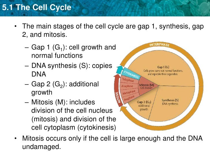 Unit 5 The Cell Cycle And Mitosis