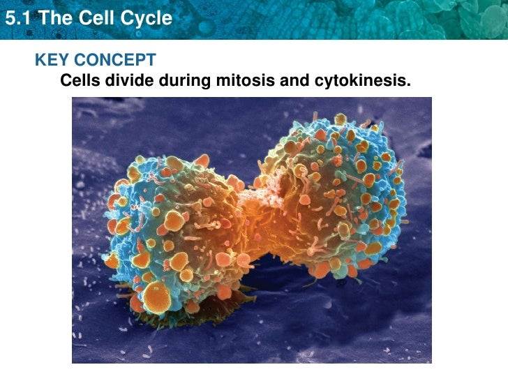 Asexual reproduction is carried out through mitotic