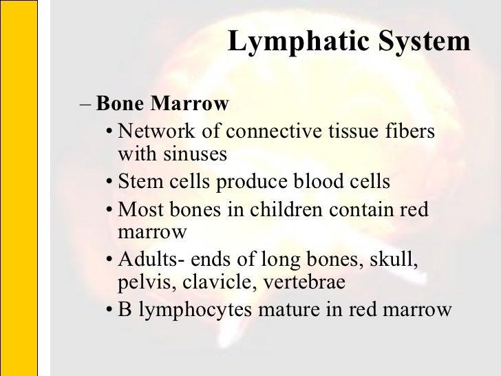 Lymphatic System  <ul><ul><li>Bone Marrow </li></ul></ul><ul><ul><ul><li>Network of connective tissue fibers with sinuses ...